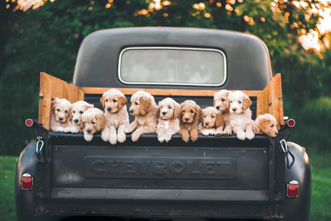 White and brown puppy litter on the top tailgate of old Chevrolet pickup