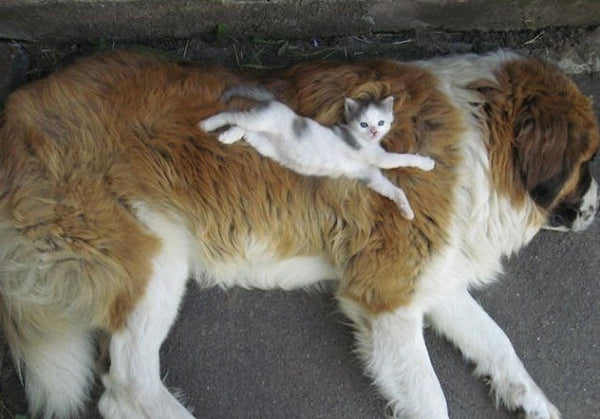 cats laying on dogs