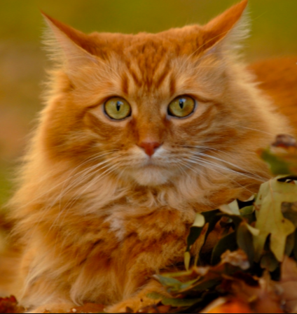 6 things you didnt know about orange tabby cats � meowingtons