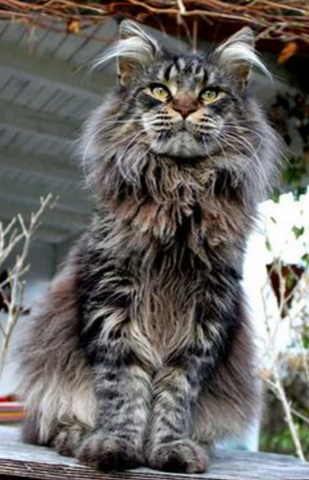 maine coon cat facts meowingtons