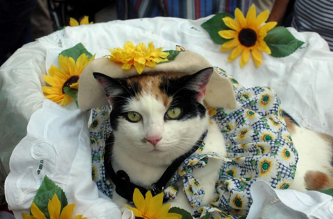 Kittehs Making Headlines Meowingtons - Cat dressed in tiny sailors outfit becomes captain of russian cruise ship