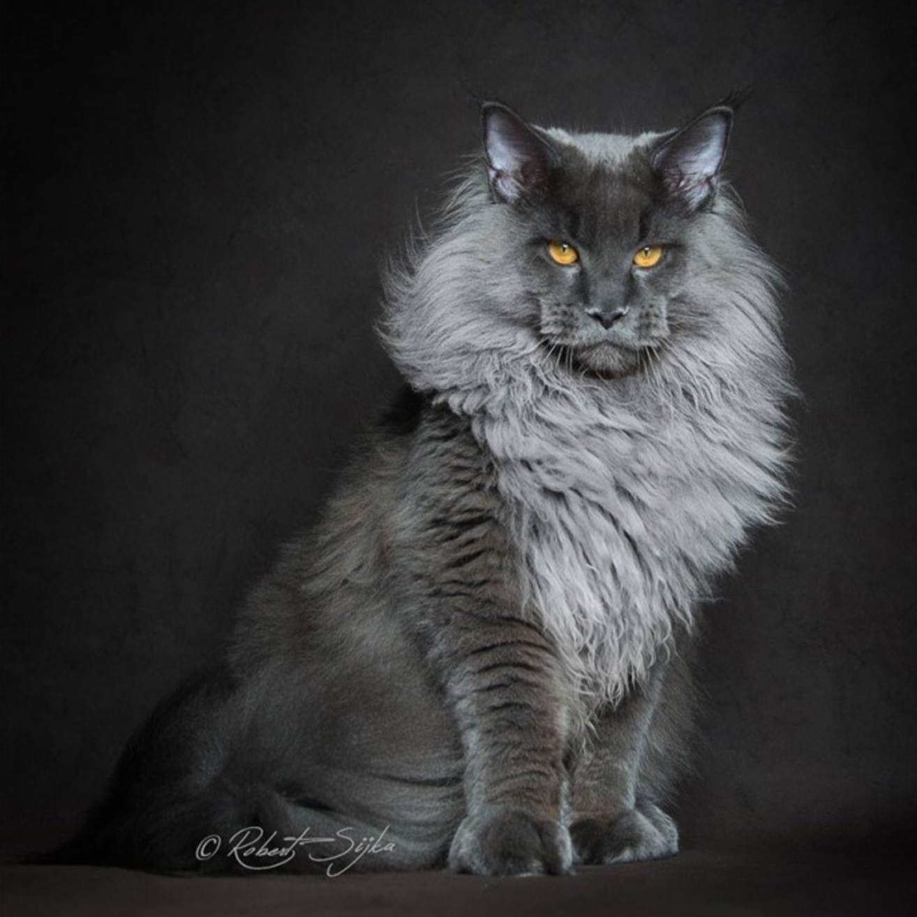 gray maine coon cat