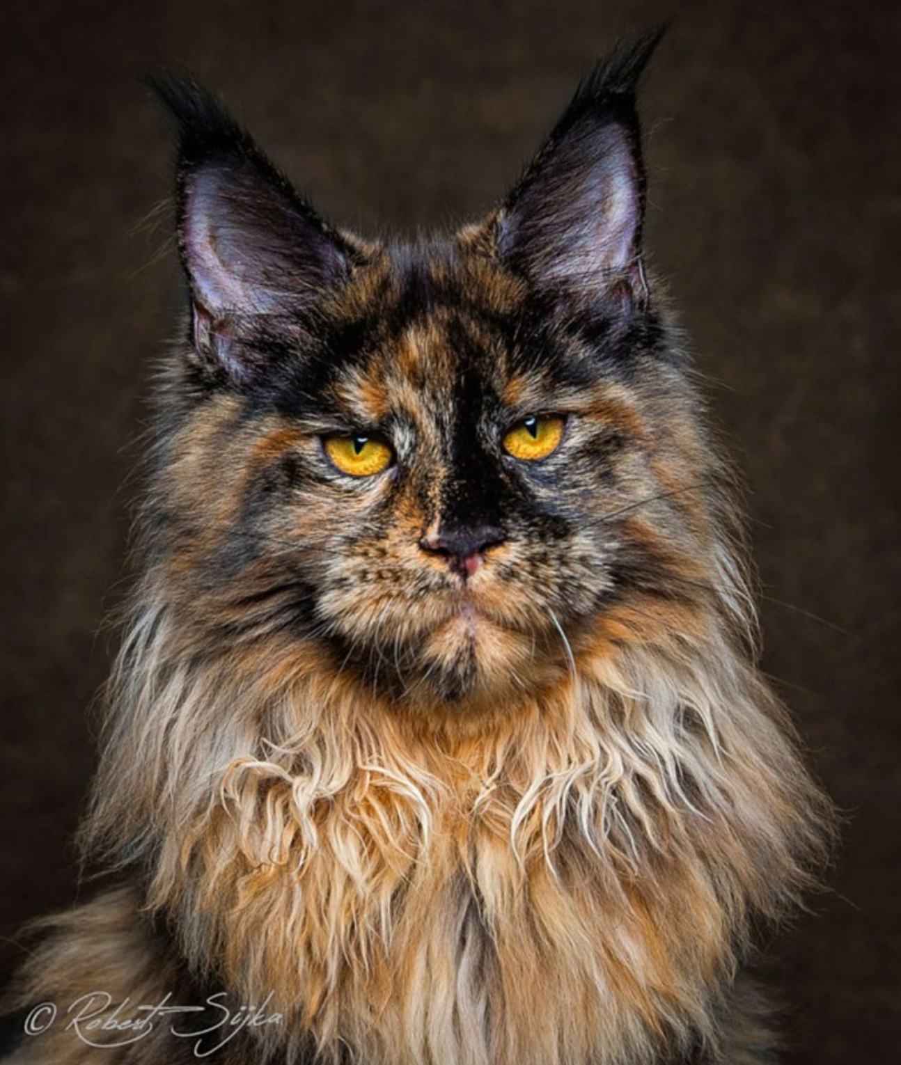 16 Maine Coon Cats That Look Like Majestic Mythical Creatures