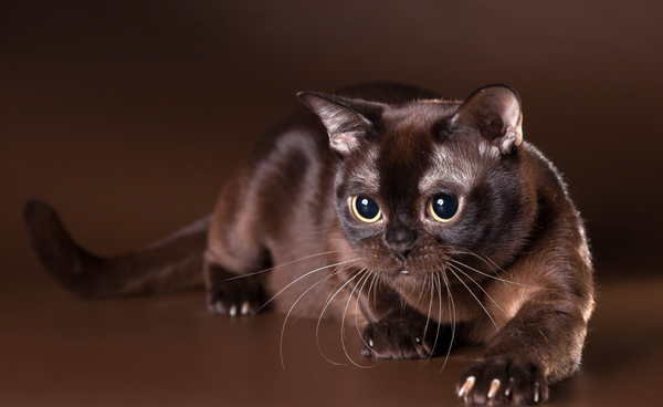 7 Rare and Beautiful Cat Colors – Meowingtons
