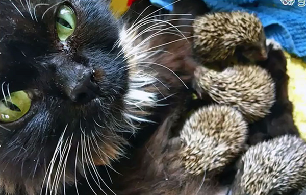Russian Cat Nurses Eight Orphaned Hedgehogs Back To Health