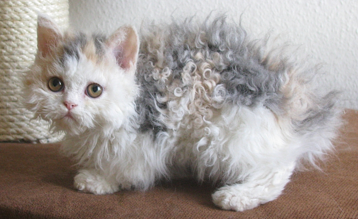 selkirk rex laperm curly cat