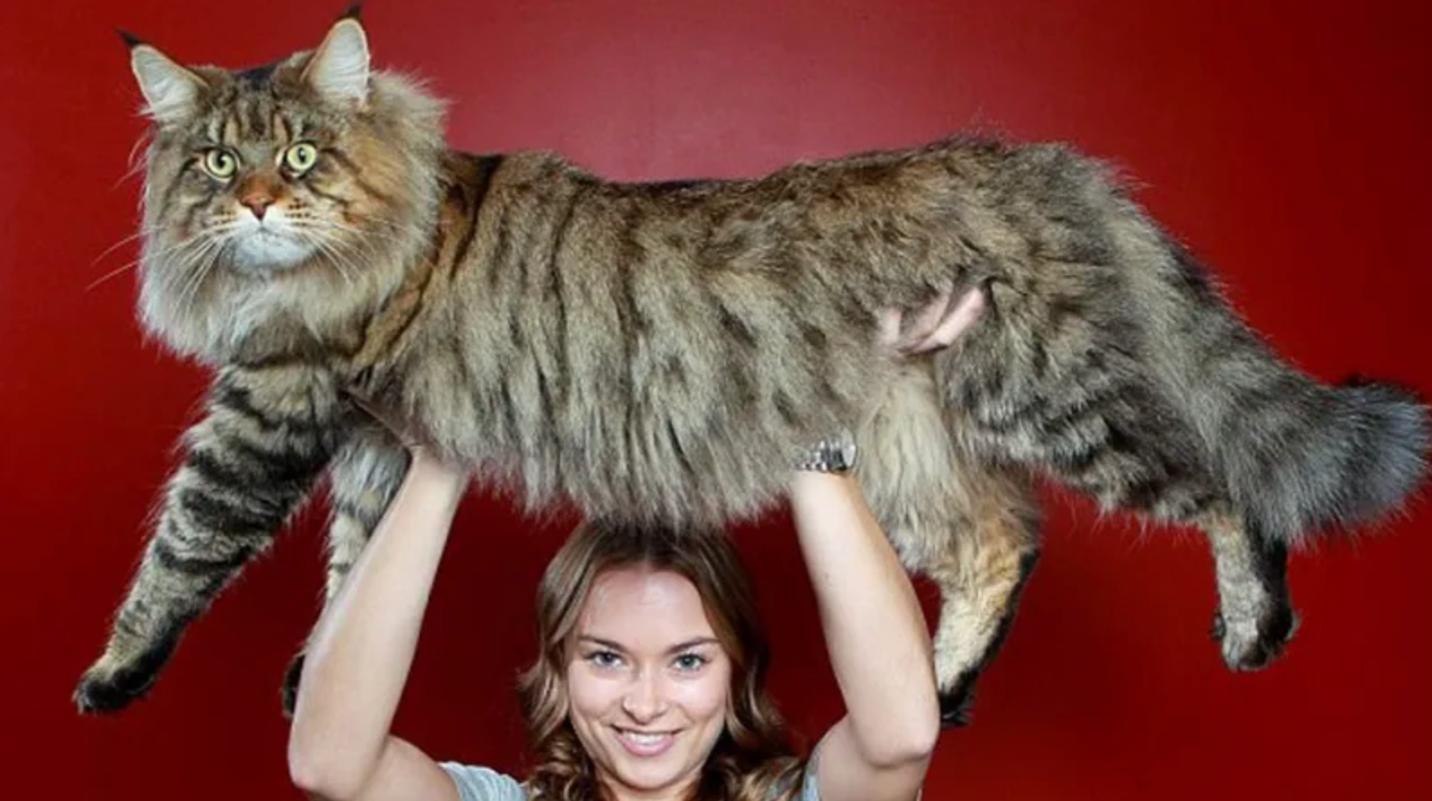 8 Larger Than Life Facts About Maine Coons Meowingtons
