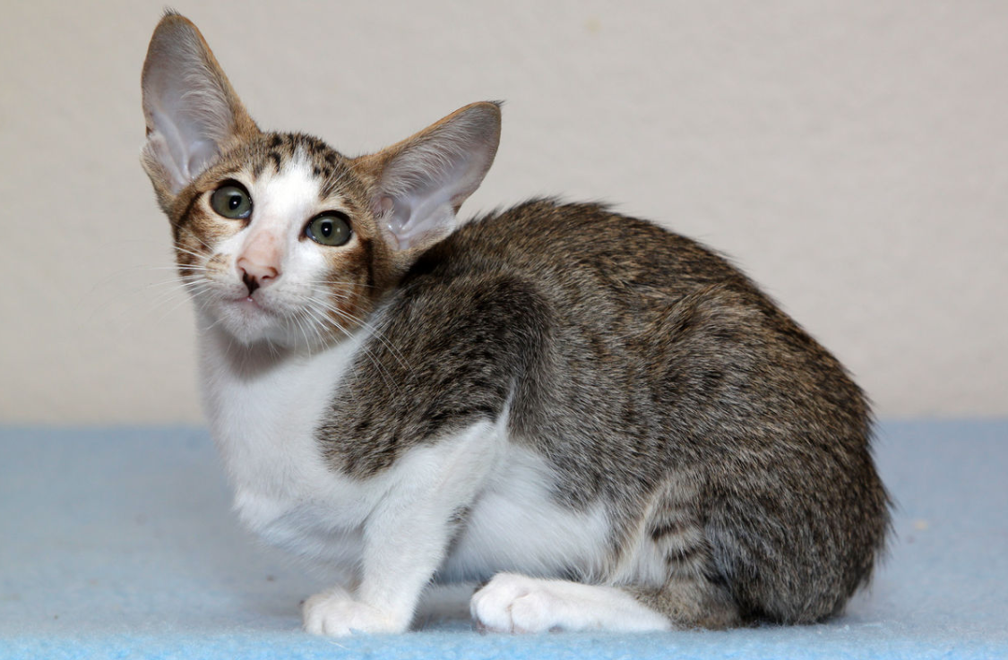 All About Oriental Shorthair Cats!