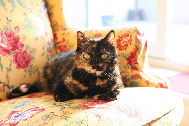50 Names For Cats With Tortitude – Meowingtons