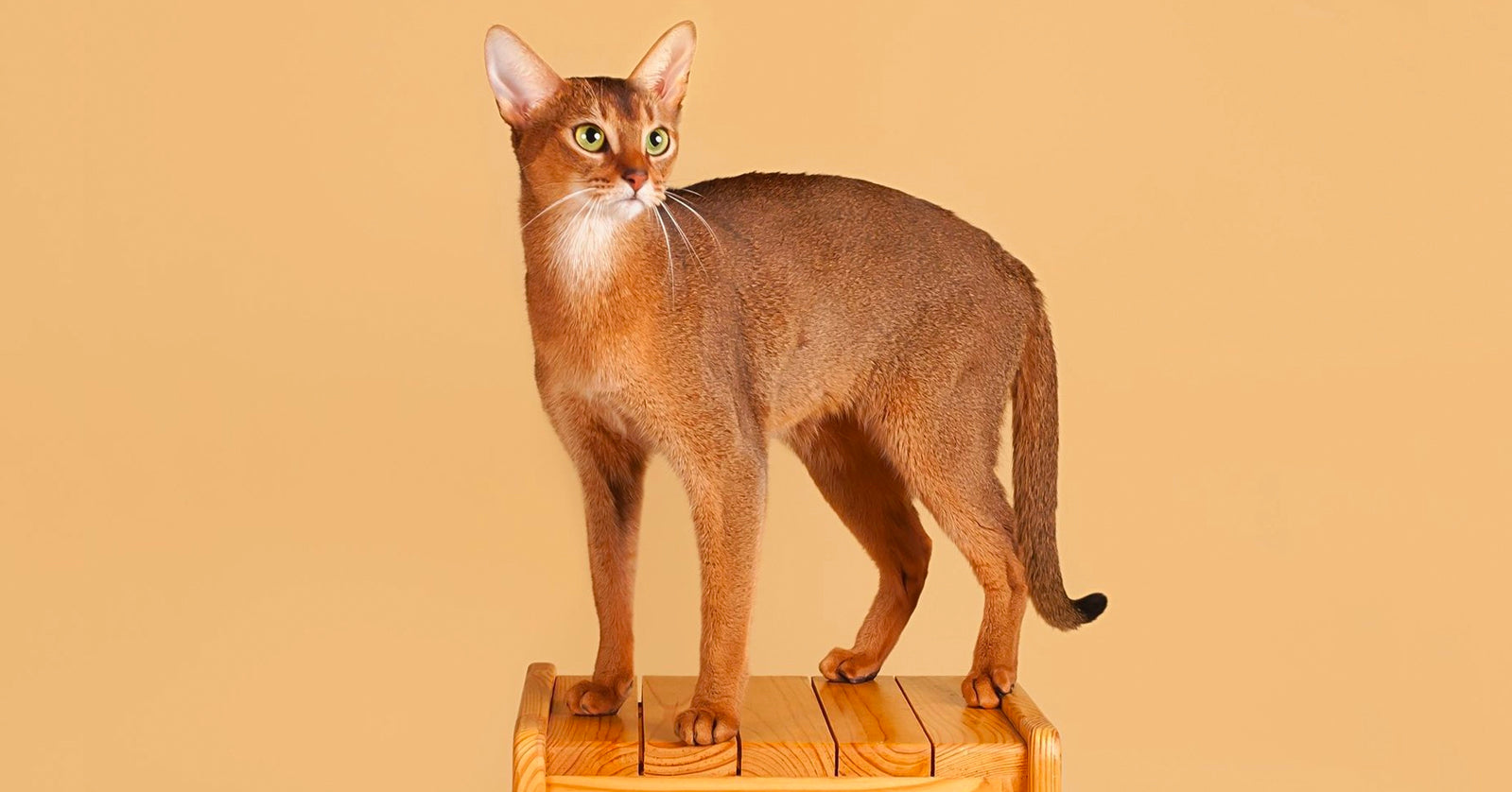 Absolutely Awesome Facts About Abyssinian Cats