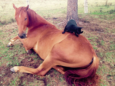 cat and horse friends cat friends with horse unusual cat friendships
