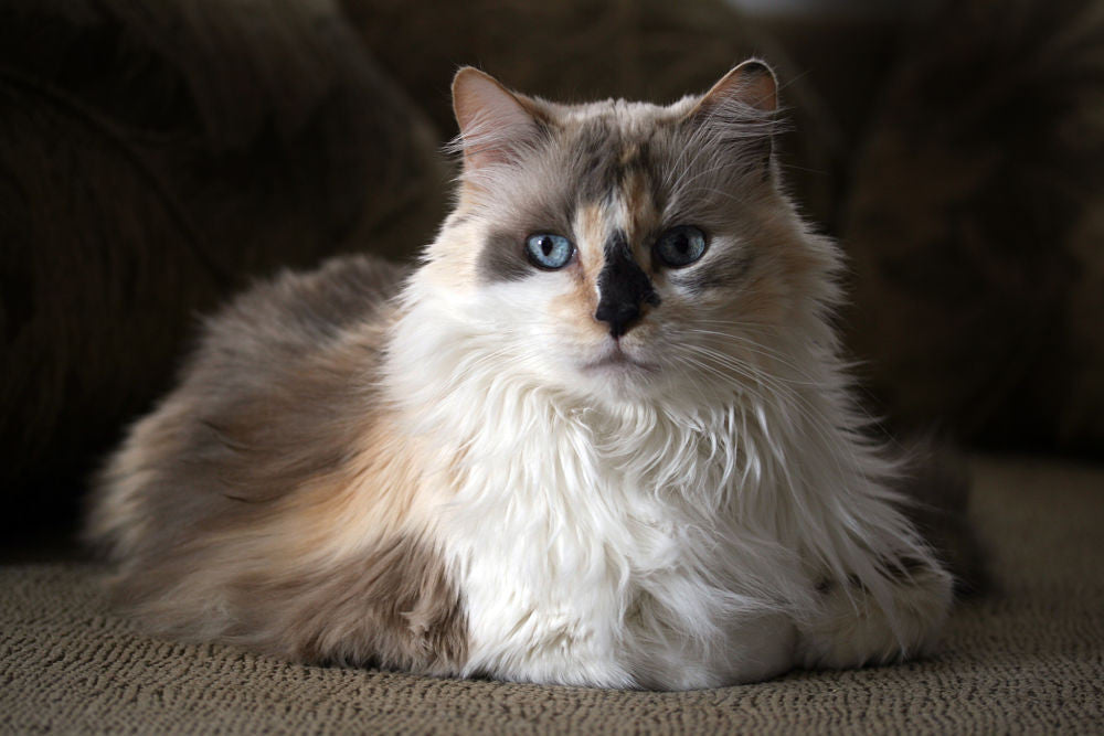 deb1b006c7 Here s Why Calico Cats Are the Coolest – Meowingtons