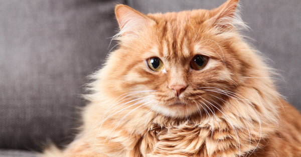 6 Fun Facts About Orange Tabby Cats Meowingtons