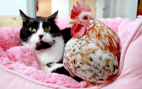 cat and chicken kitten and chick cat and baby chicken