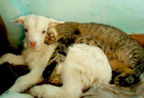 lion and the lamb cute cat friendships unlikely animal friendships