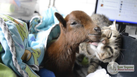 baby goat cute baby animals cute kittens