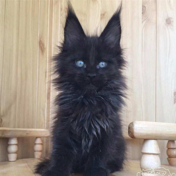 Fluffy Black Kittens With Blue Eyes 11 Ways Black Cats Are...