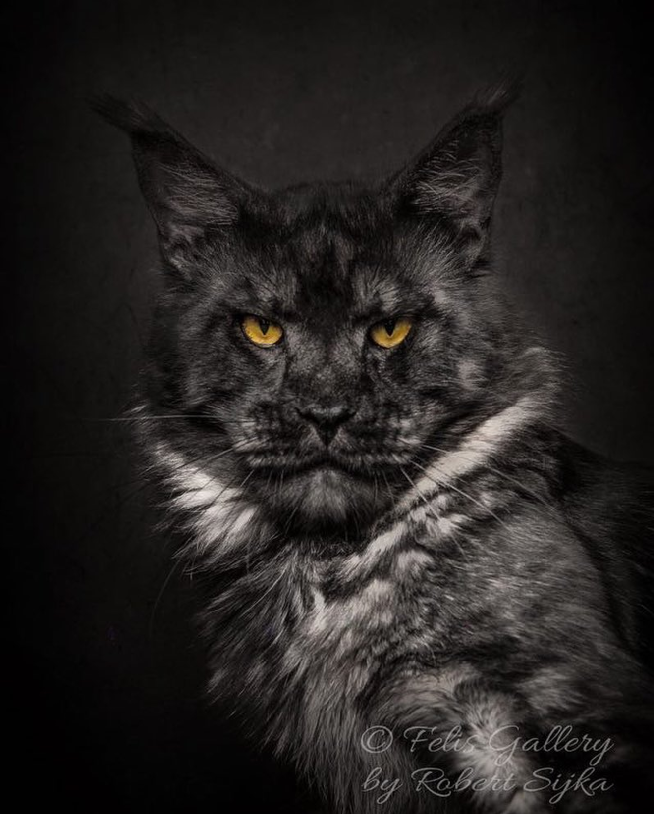 Black Maine Coon Cat | www.imgkid.com - The Image Kid Has It!