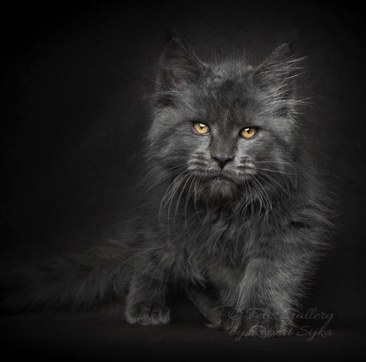 16 Maine Coon Cats That Look Like Majestic Mythical