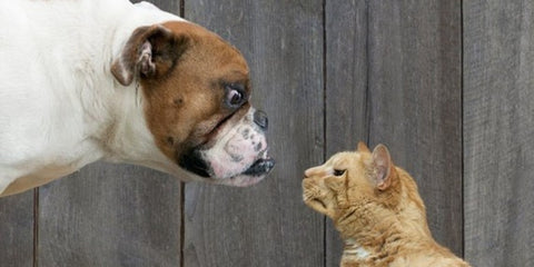 meow off dog v cat meowingtons