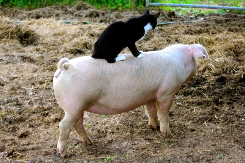 babe cat and pig friends cat loves pig
