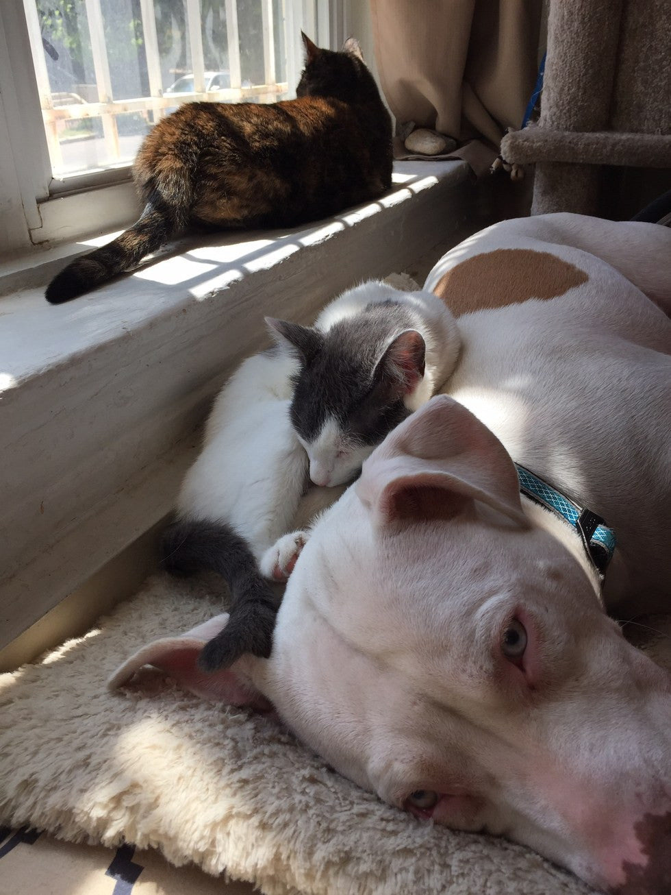 hugging kittens pit bull and cats