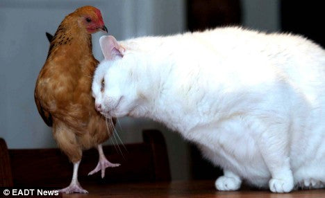 cat and chicken friends cat vs chicken