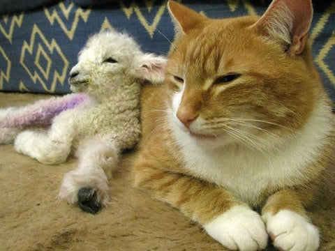 the lion and the lamb lion and lamb unusual animal friends strange animal relationships