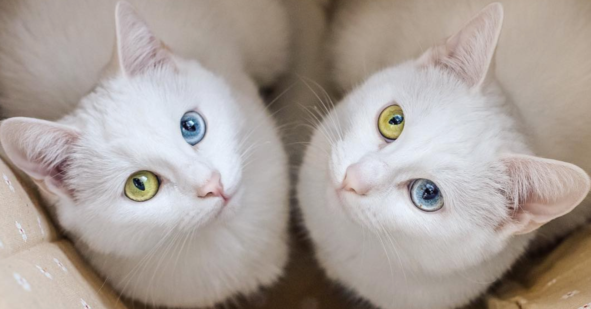 white cat twins