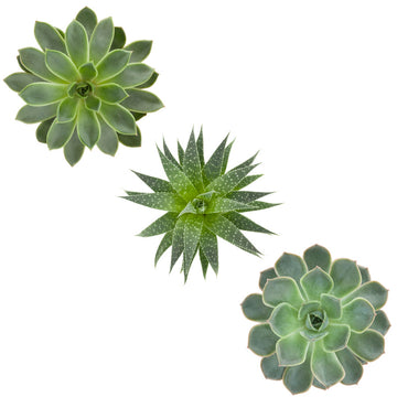 Trio of Succulents  - Vinyl wall art