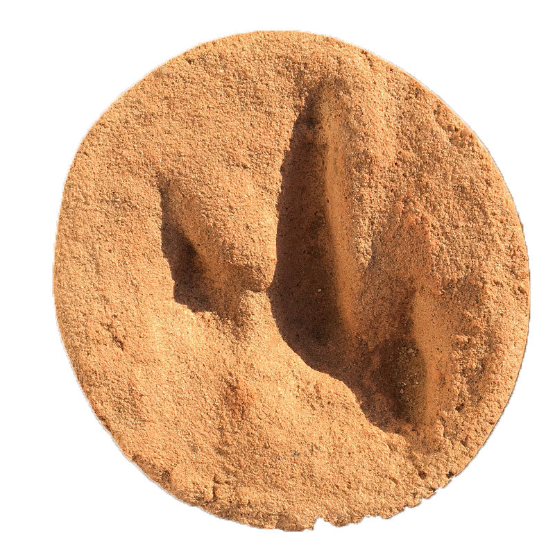 Ornithopod footprint in box