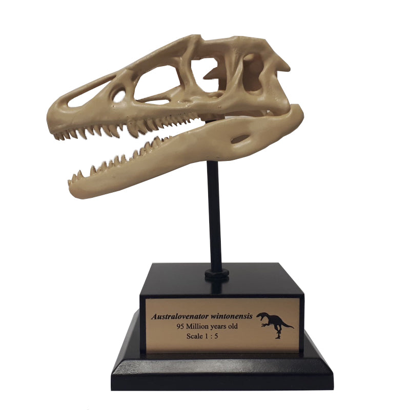 Theropod skull on stand