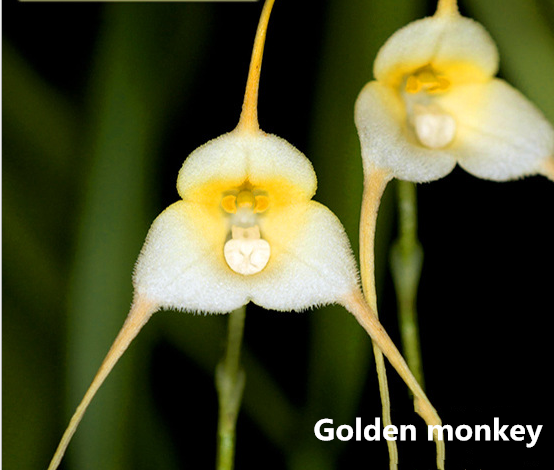 Monkey face orchid seed 200pcs/Bag (Buy 5 bags for free shipping)