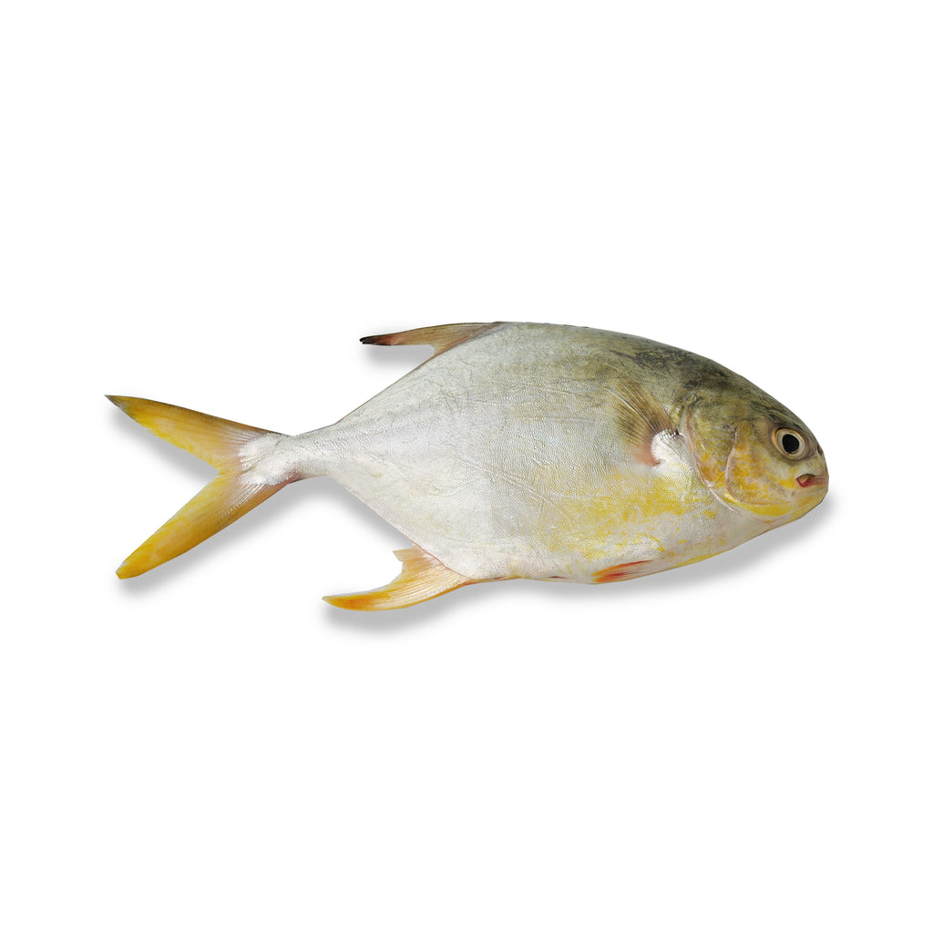 Frozen Whole Golden Pomfret Fish