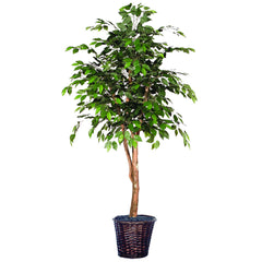 7Ft. Ficus Heartland real Dragonwood trunks