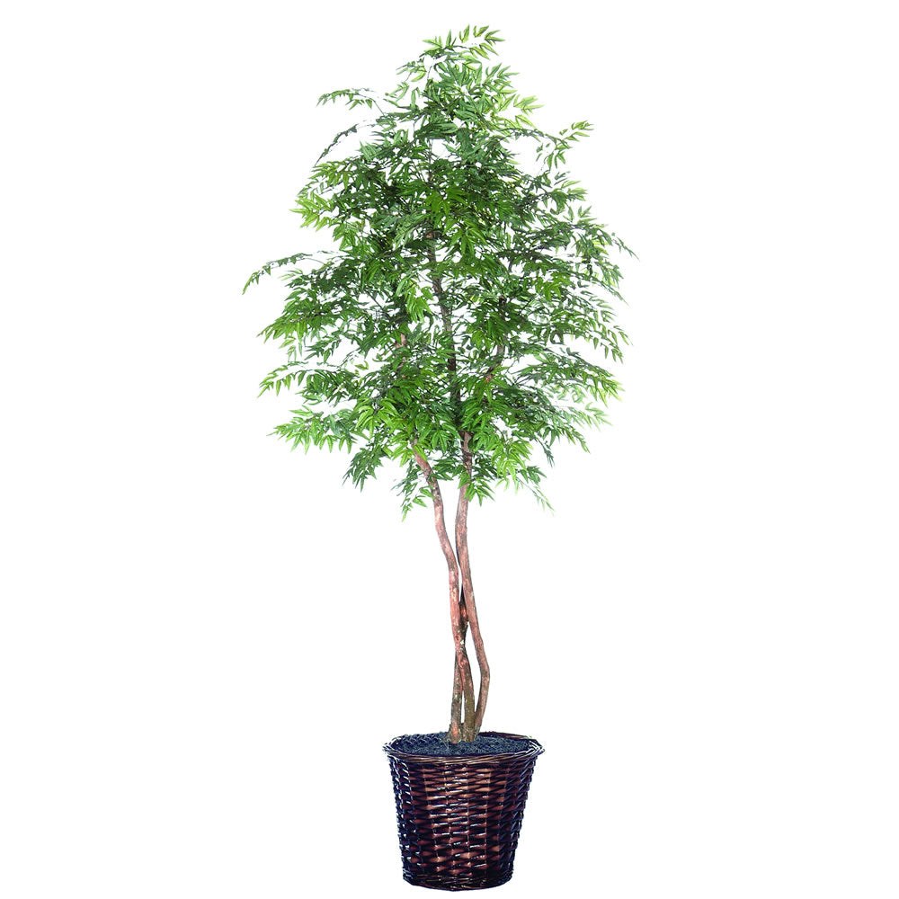 7Ft. Ming Aralia Heartland real Dragonwood trunks