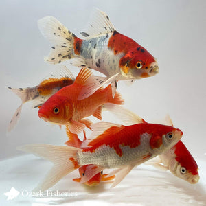 Assorted Goldfish Combo: Shubunkin, Sarasa, and Common Goldfish