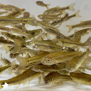 Black Fathead Minnows