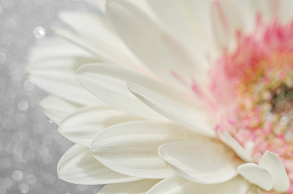 White Gerbera With Sparkles