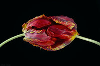 Red Tulip Flower Photo Print