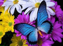 Load image into Gallery viewer, Diamond Painting | Diamond Painting - Blue Butterfly and Flowers | animals butterflies Diamond Painting Animals flowers | FiguredArt