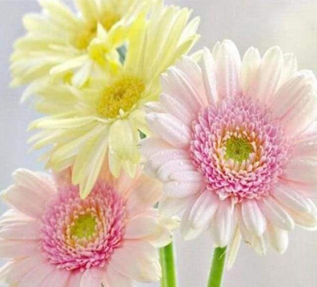 Diamond Painting | Diamond Painting - Daisies in Pastel Colors | Diamond Painting Flowers flowers | FiguredArt