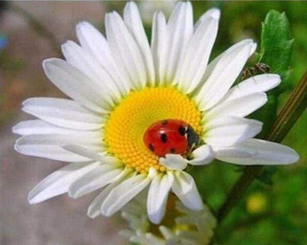 Diamond Painting | Diamond Painting - Ladybird and Marguerite | animals Diamond Painting Animals Diamond Painting Flowers flowers |