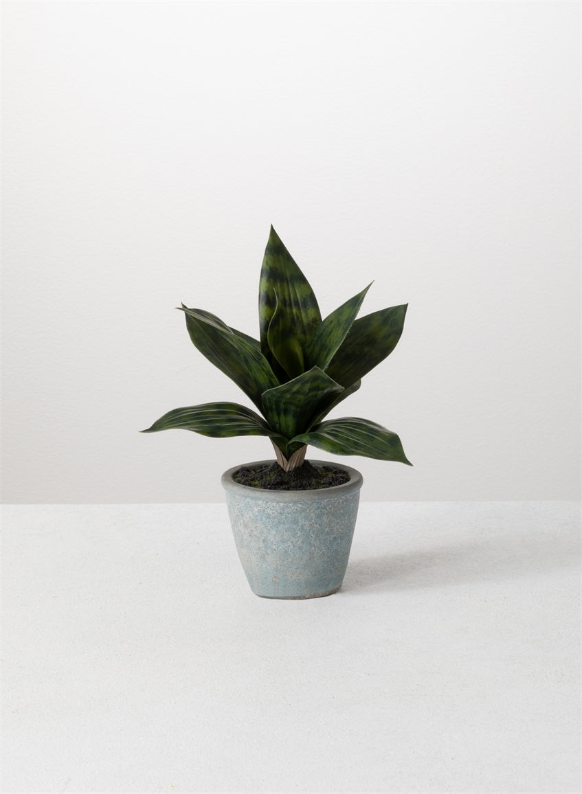 POTTED SANSEVIERIA