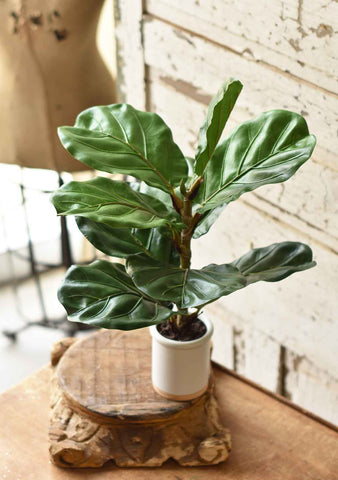 Potted Fiddle Leaf Fig | 23""