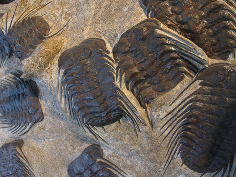 Trilobite Fossil Plate from Morocco