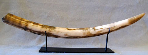 Wooly Mammoth Tusk