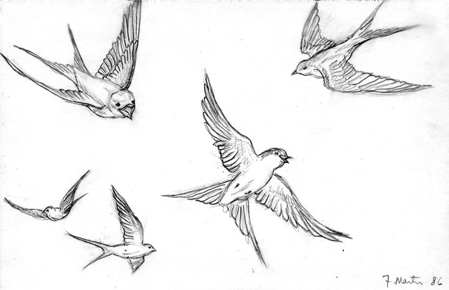 Swallows.
