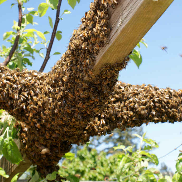 Why Honey Bees Swarm