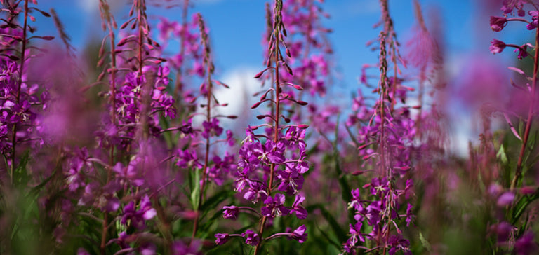 Healing Bees Natural Skincare - Fireweed